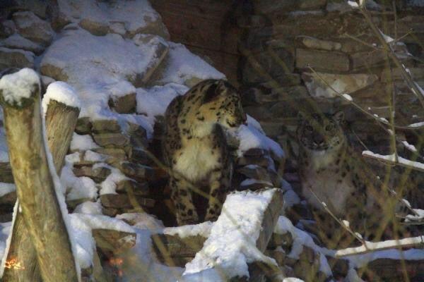 Взооботсаду Казани скончался последний снежный барс