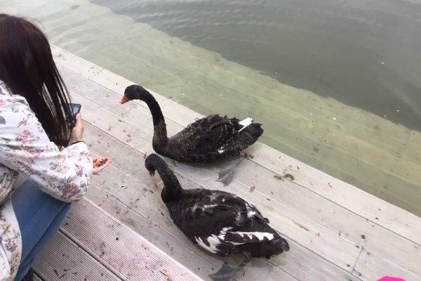 Лебеди в парке «Черное озеро». Фото: e-Kazan.ru